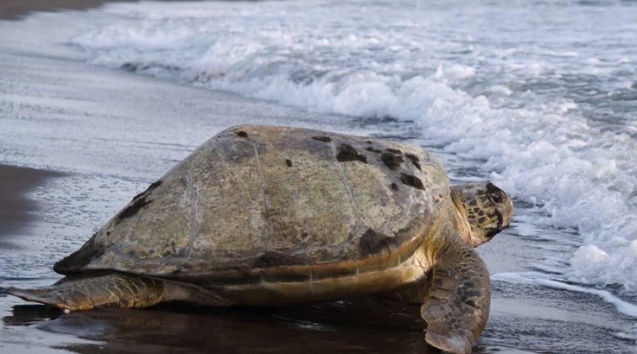 Tartaruga che ritorna nel mare dopo avere deposto le uova nel Parco del Tortuguero
