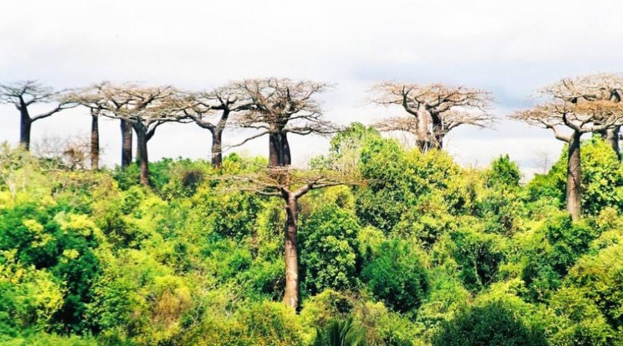Alberi di Baobab