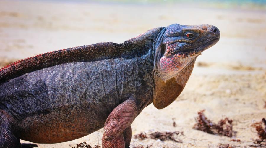 Le iguane di Allan's Cay, Isole Exuma