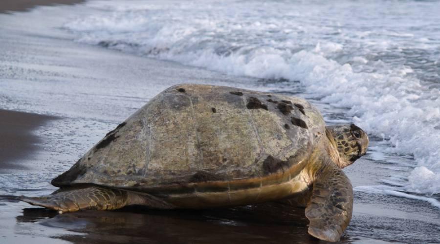 Parco nazionale Tortuguero, tartaruga che ritorna nel mare dopo avere deposto le uova.