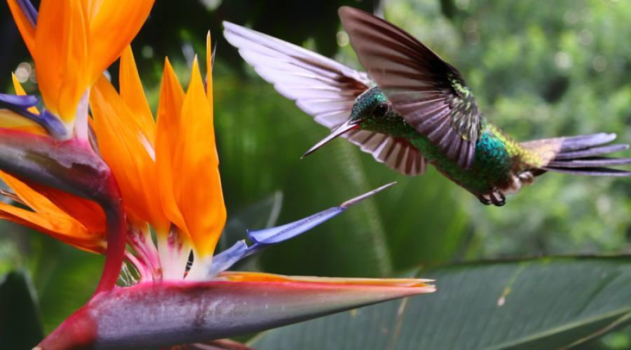 Colibrì, Costa Rica