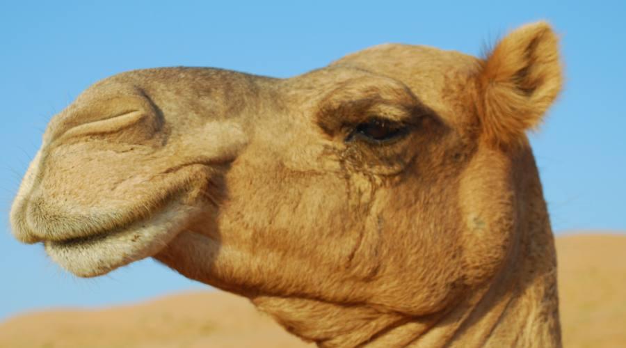 Cammelli nel deserto di Wahiba Sands