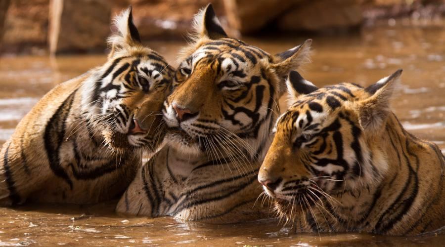 Tigri online dating