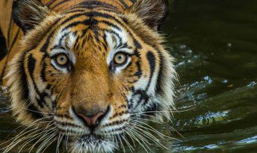 La Tigre, Signora della giungla