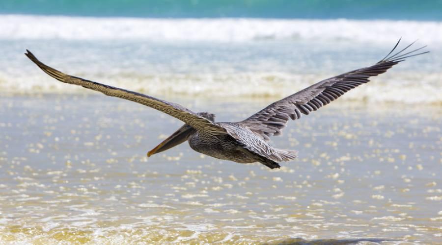 Pellicano in volo