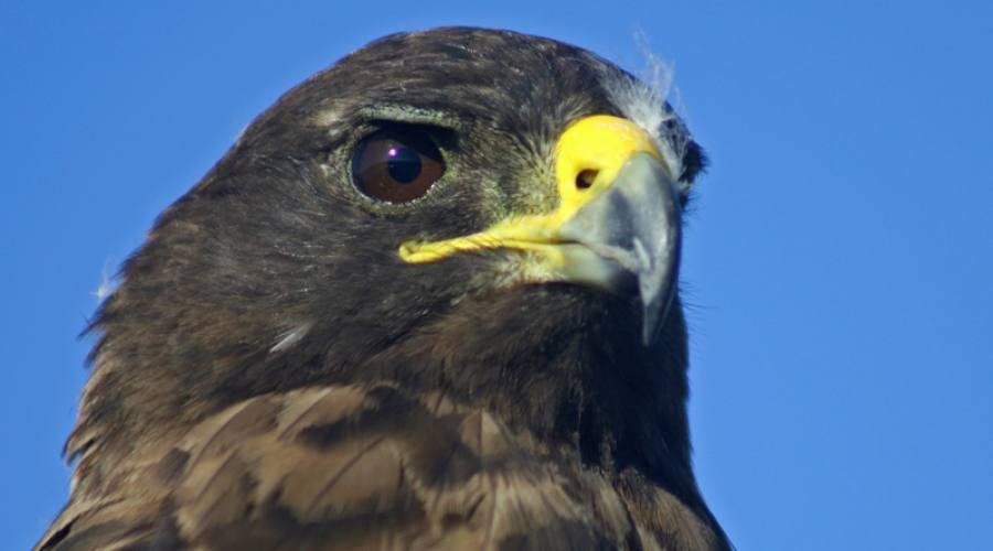 Falco delle Galapagos