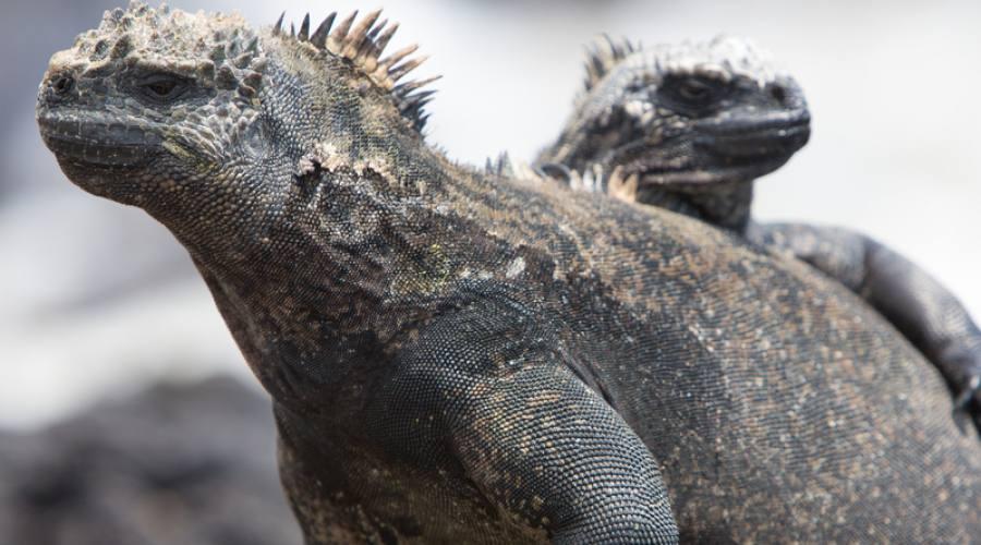 Iguane marine