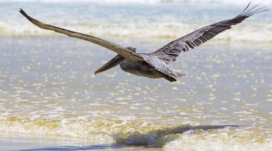 Pellicano in planata sulla Tortuga Bay