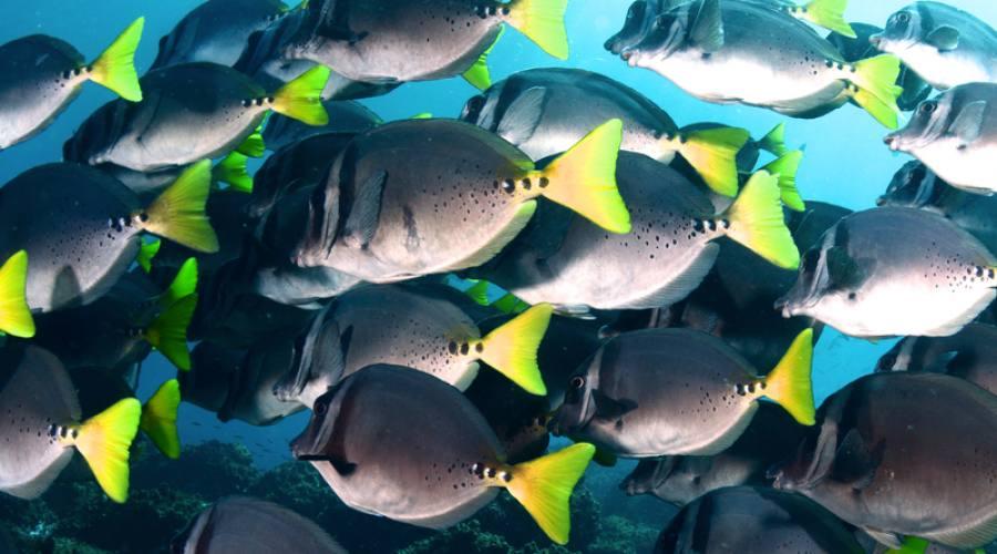 Banco di pesci chirurgo, Santa Cruz
