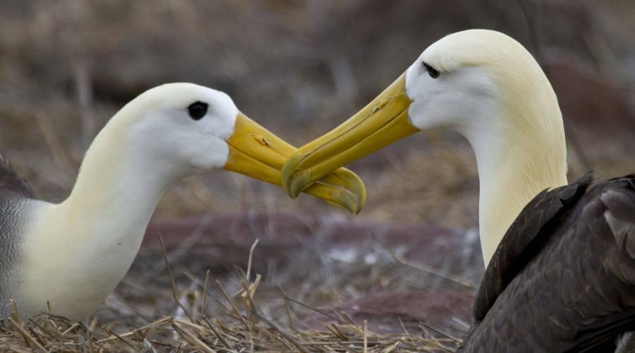 Albatross, Isabela