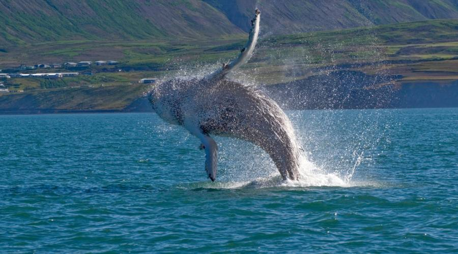 Avvistamento balene da Husavik