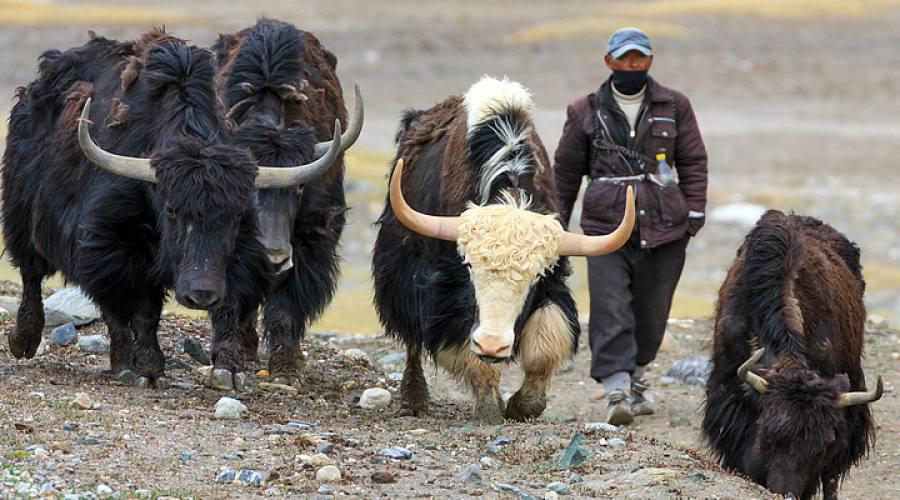 yak del Pamir