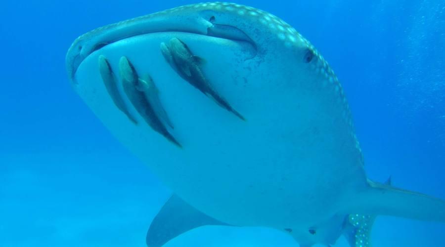 Squalo balena