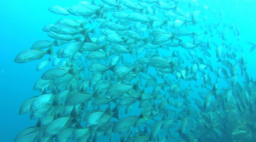 Un muro di pesci all'isla del Caño