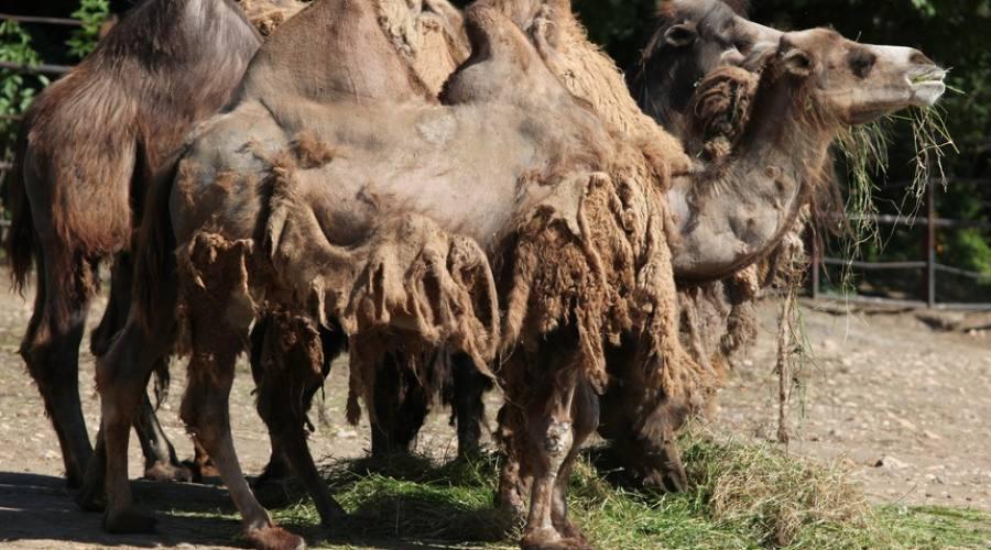cammelli portatori