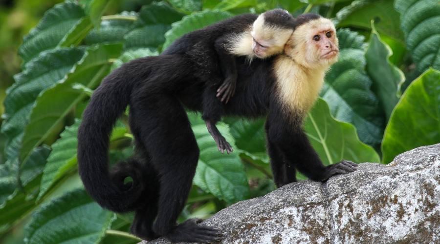 Scimmia capuccino, Parco nazionale Manuel Antonio