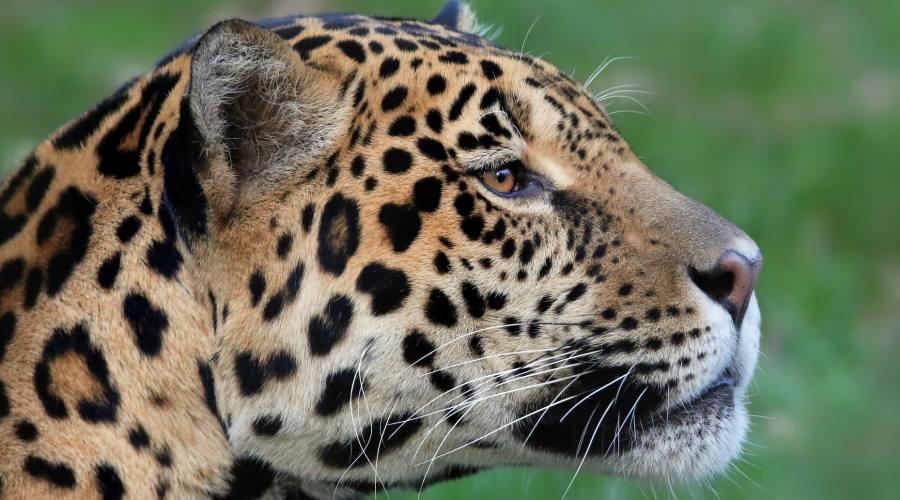 Il giaguaro, abitante del Parco del Corcovado