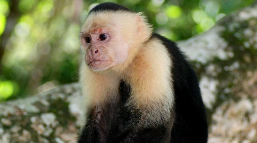 Scimmia capuccino