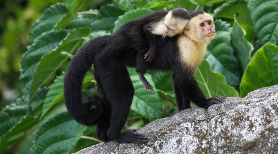 Mamma e figlio di scimmia capuccino