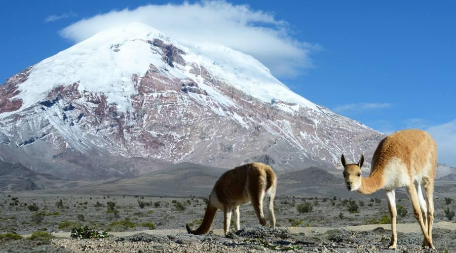 Vigogne e Chimborazo