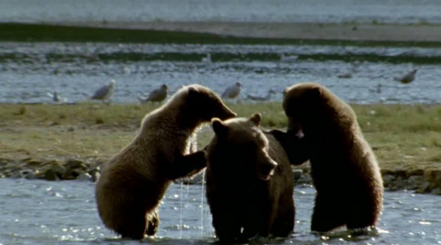 Famiglia di Grizzly