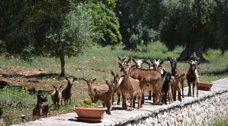 Caprette in Masseria