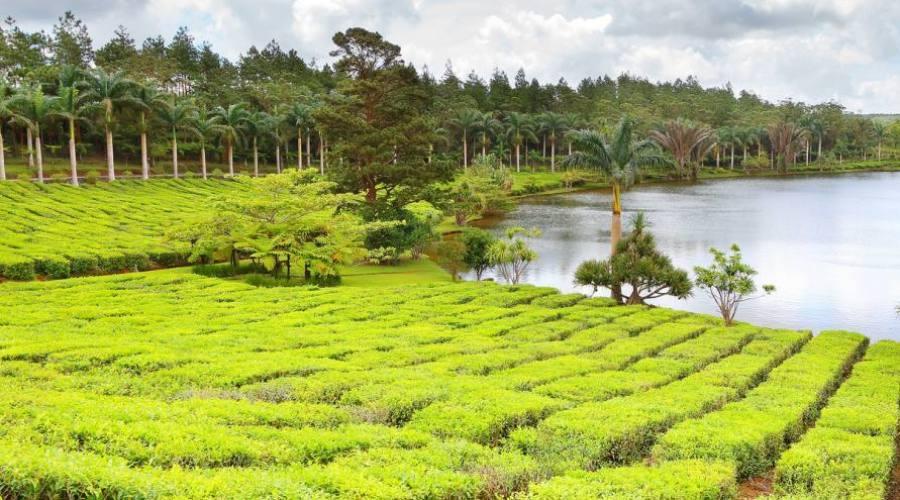 Les plantations de thé à l'île Maurice
