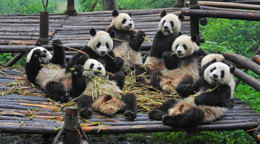 Chengdu Centro Preservazione Panda