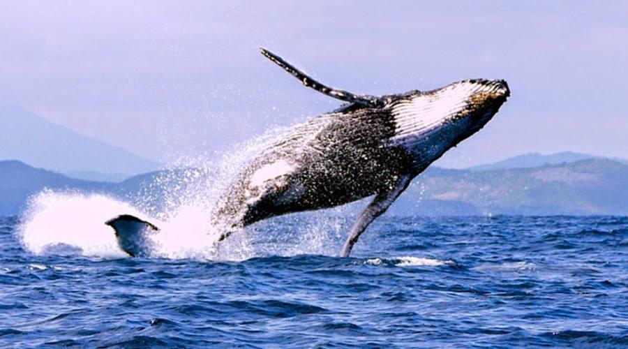 Ile Sainte Maire - balena megattera