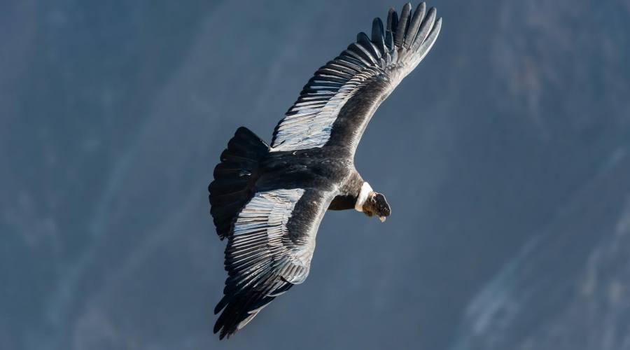 Ecco il condor!