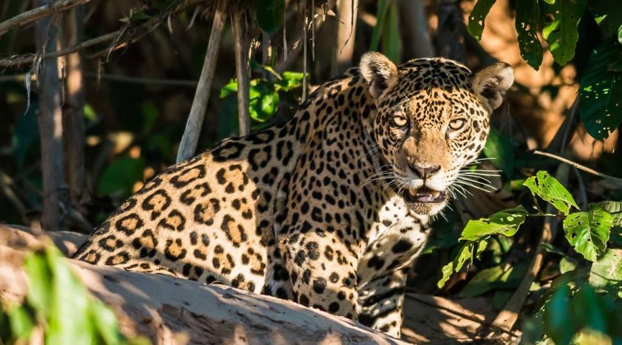 Ecco il giaguaro!