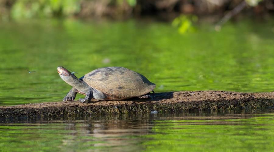 Tartaruga fluviale