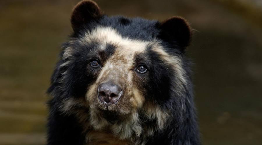 L'orso dagli occhiali