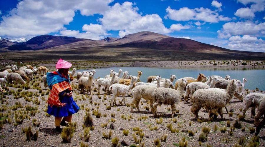 pastore peruviano