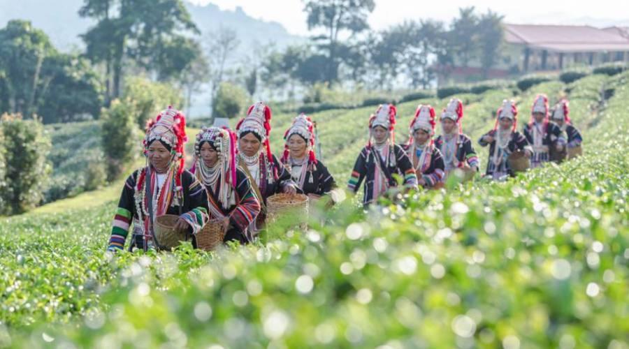 Akha dans une plantation de Chiang Rai