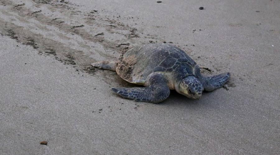Tartaruga di Ridley dopo avere deposto le uova sulla spiaggia