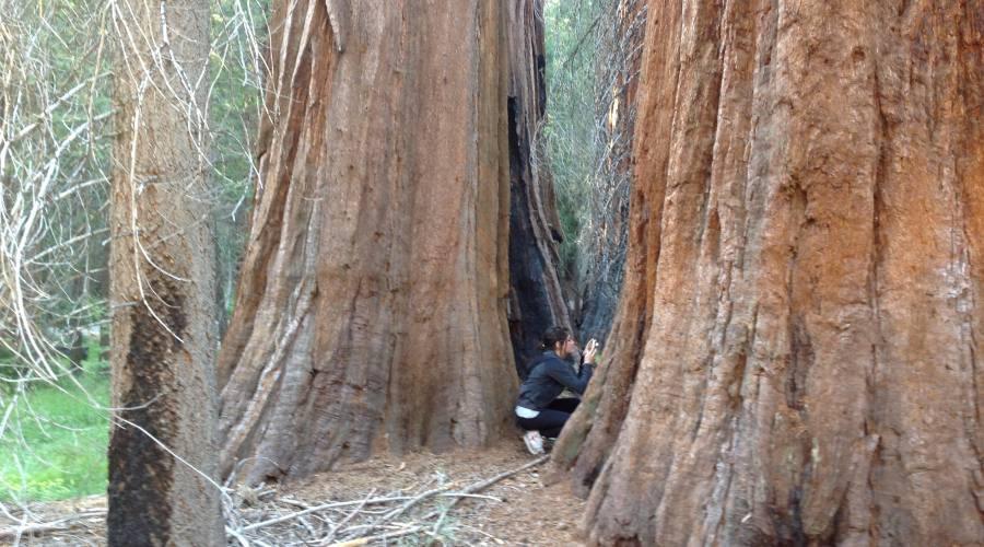 Le maestose sequoie