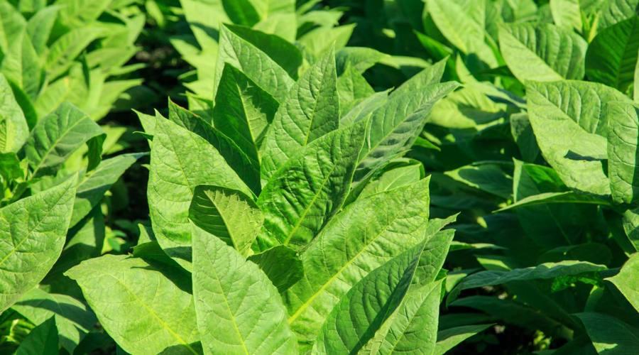 Pianta Tabacco