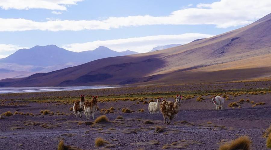 Un gruppo di lama sull'altopiano andino