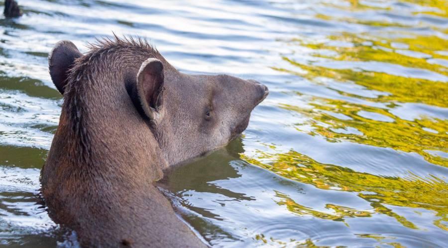 Un tapiro a mollo nel fiume