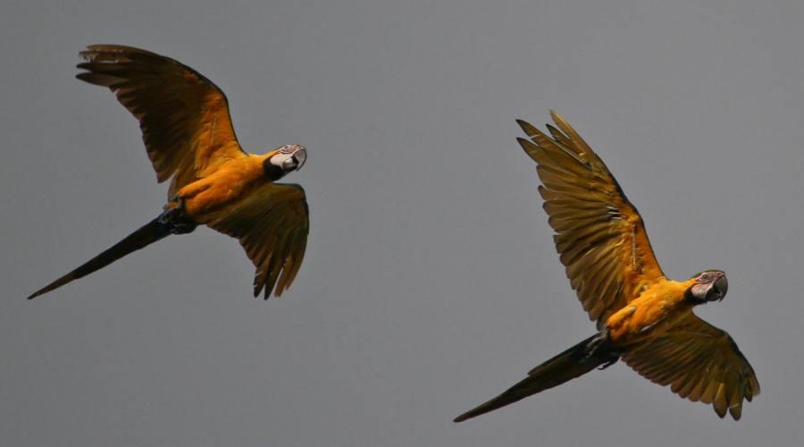 Pappagalli in volo