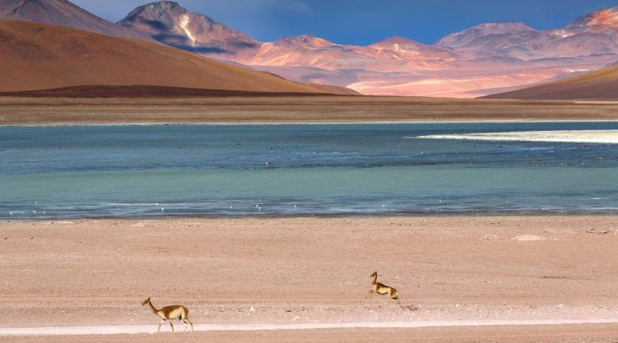 Laguna colorada con vigogne