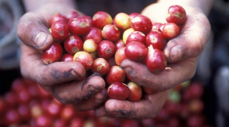 Il caffè, una delle principali produzioni del Guatemala