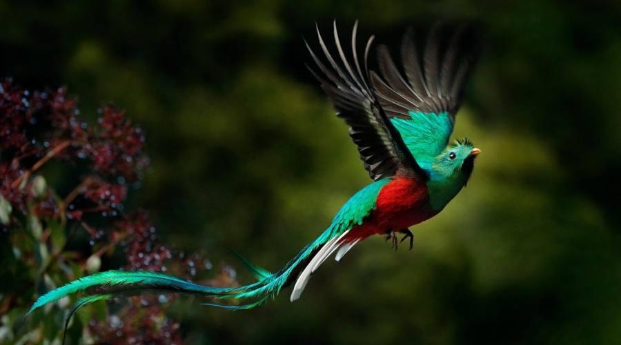 Il quetzal, l'uccello simbolo del Guatemala