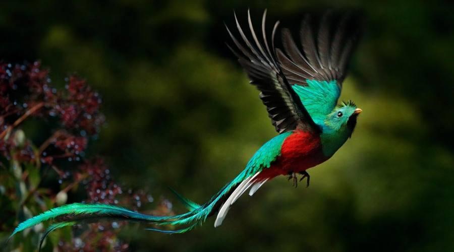 Il quetzal, l'uccello sacro per i Maya, simbolo del Guatemala