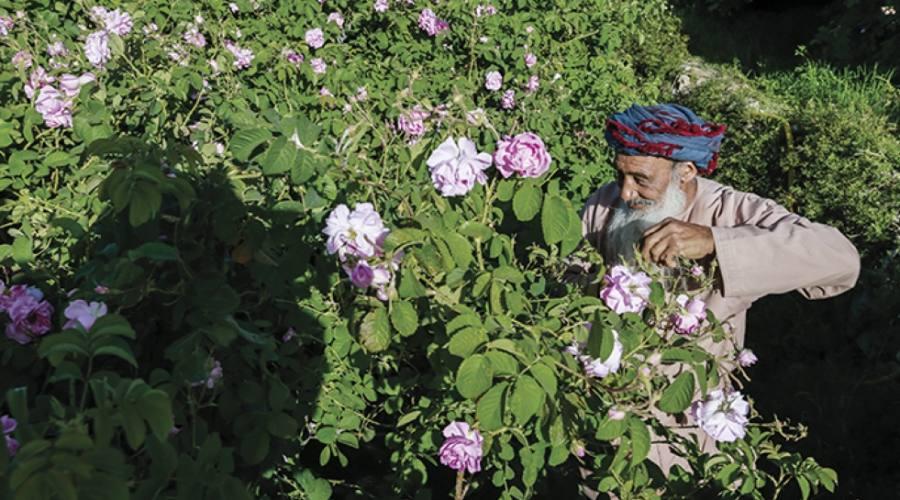 anziano raccoglitore di rose