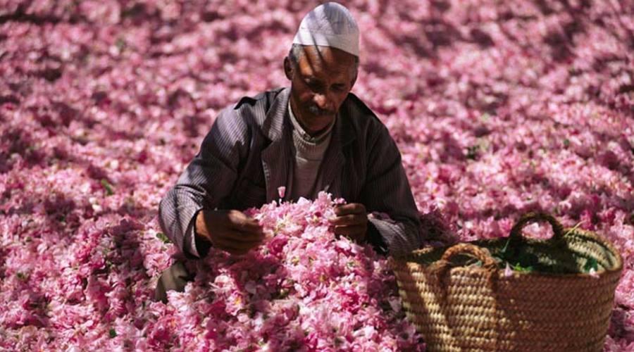 raccolta delle rose