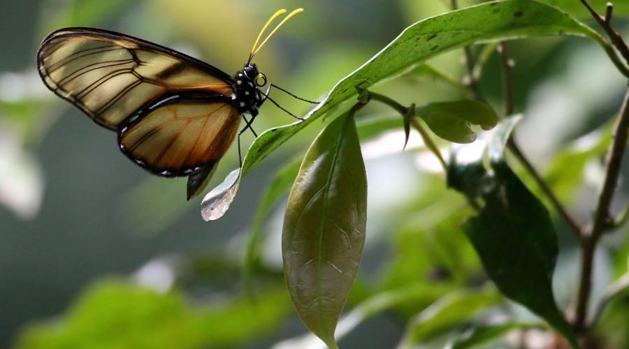 Selva Negra, una farfalla