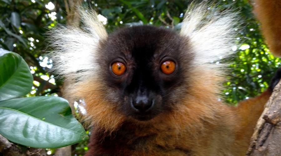 Lemure Makako a Nosy Komba