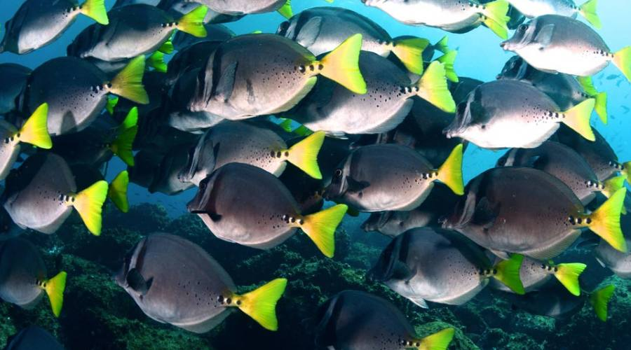 Un banco di pesci chirurgo
